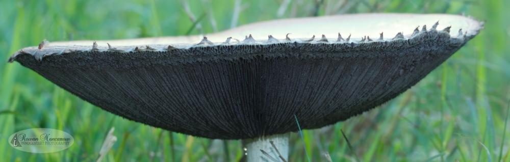 Mushroom_3 Macro Panorama